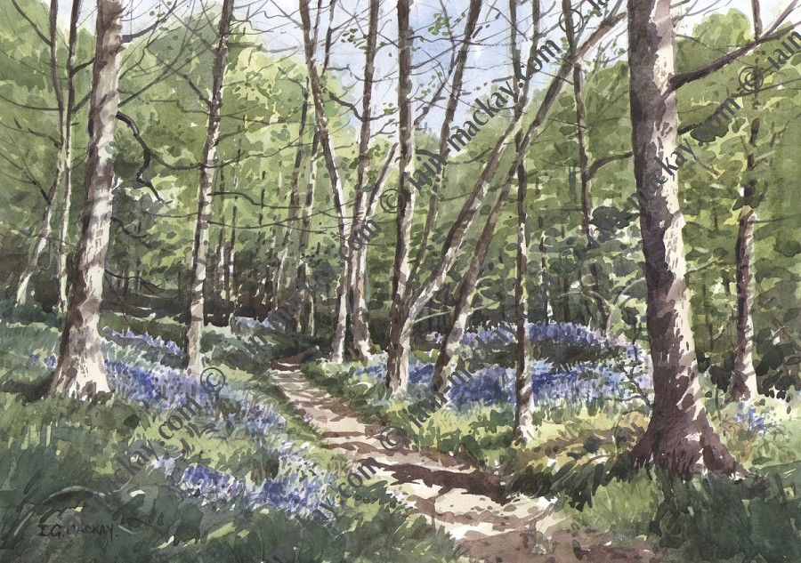 Bluebells in Pitty Wood Iain McKay / Print size: 400 x 280 mm